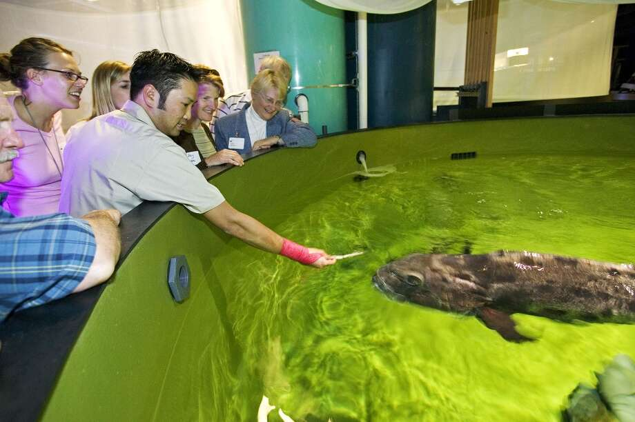 A giant sea bass surfaces for food at the California Academy of Sciences in 2005. Photo: Dong Lin / CAS, SFC / Chronicle