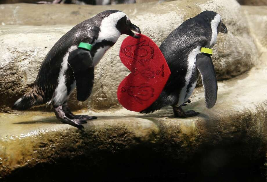 An African Penguin holds a Valentine's Day card at the California Academy of Sciences on February 13, 2013 in San Francisco. In honor of Valentine's Day, the penguins received heart-shaped red valentines with handwritten messages from Academy visitors, which they then used as nesting material. Photo: Justin Sullivan, Getty Images / 2013 Getty Images