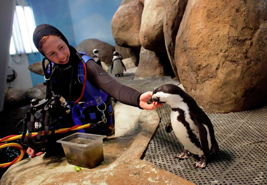 Aquatic Biologist Brooke Weinstein with Oso, one of the 16 penguins that live in the African penguin colony exhibit at the California Academy of Sciences, January 19, 2012, in San Francisco. Photo: Lacy Atkins, The Chronicle / ONLINE_YES