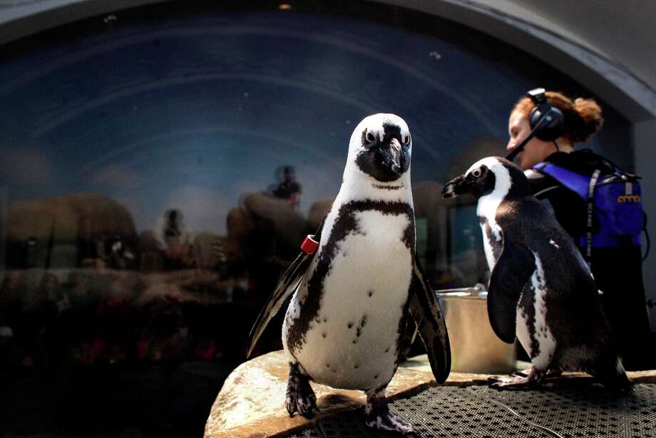 Aquatic Biologist Brooke Weinstein answers questions from spectators watching the feeding of the African penguin colony in the exhibit at the California Academy of Sciences, Thursday January 19, 2012, in San Francisco. Photo: Lacy Atkins, The Chronicle / ONLINE_YES