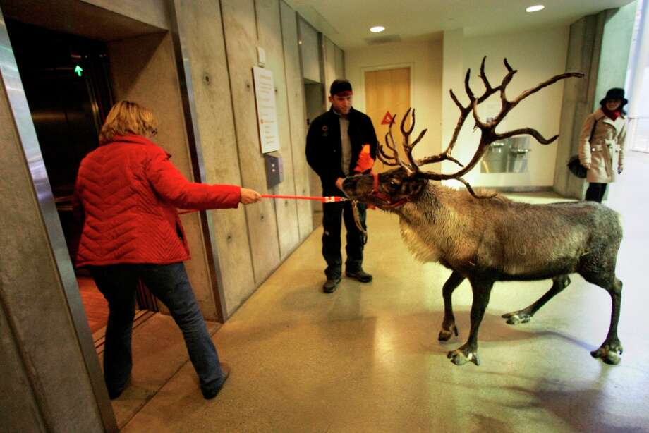 Diana Frieling leads reindeer Yukon onto an elevator at the California Academy of Sciences on Tuesday, November 22, 2010 in San Francisco. Photo: Lea Suzuki, The Chronicle / SFC