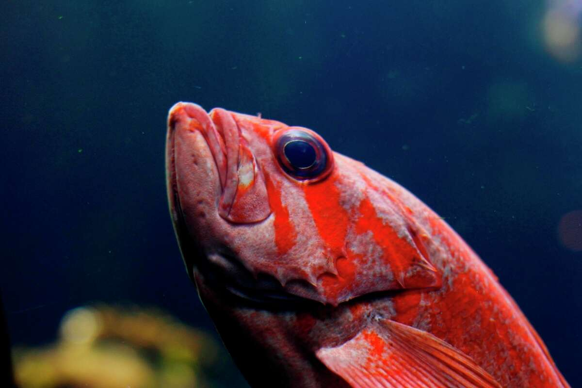A rockfish in the aquarium at the California Academy of Sciences in San Francisco.