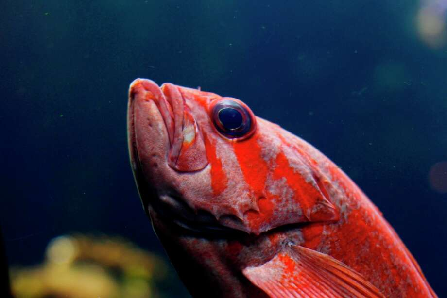 A rockfish in the aquarium at the California Academy of Sciences in San Francisco.   Photo: Beck Diefenbach, Special To The Chronicle / ONLINE_YES