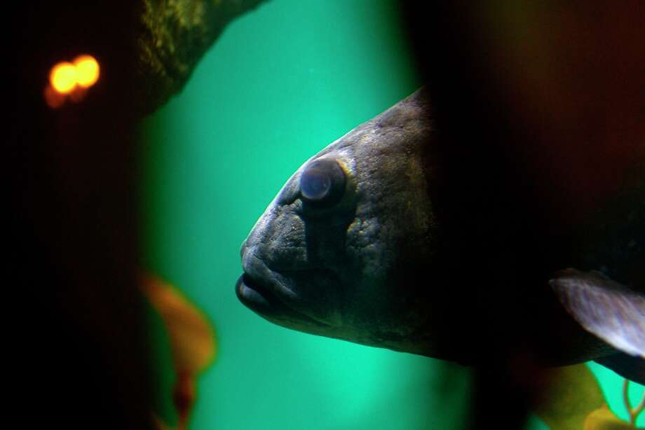 A giant sea bass in the aquarium at the California Academy of Sciences on Thursday, November 15, 2012 in San Francisco. Photo: Beck Diefenbach, Special To The Chronicle / ONLINE_YES