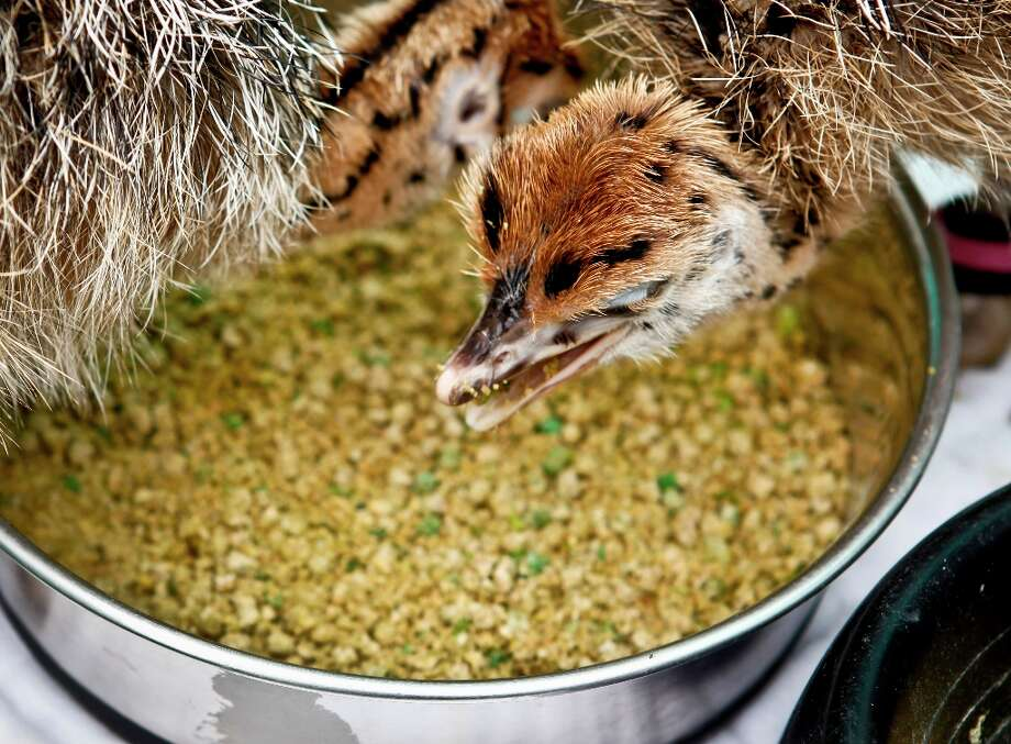 Nine-day-old ostrich chicks eat in their outdoor pen at the California Academy of Sciences on Friday, Aug. 31, 2012 in San Francisco. Photo: Russell Yip, The Chronicle / ONLINE_YES