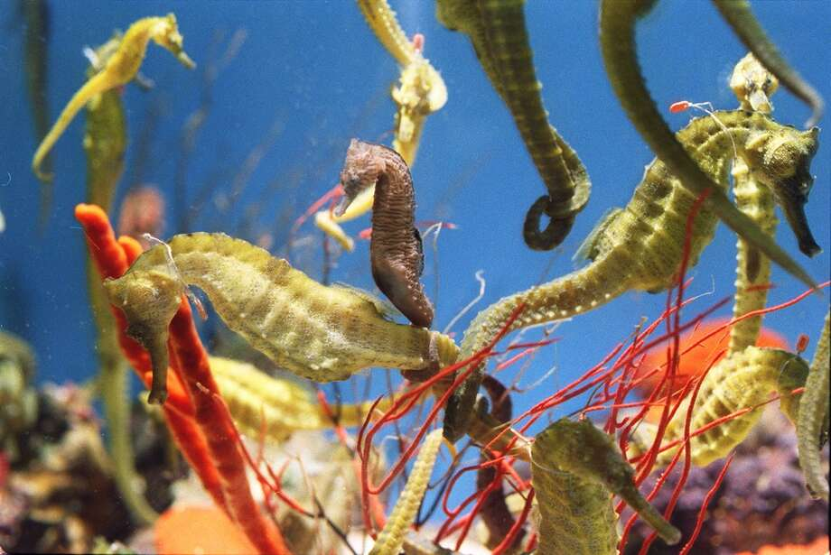 Seahorses link tails in a tank at Jorge Gomezjurado's lab at the California Academy of Sciences in 1999. Photo: LEA SUZUKI, SFC / CHRONICLE