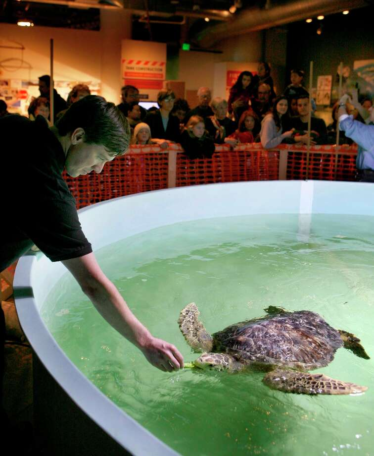 Seth Wolters, a California Academy of Sciences aquatic biologist, feeds black sea turtle 'Diego' his favorite meal of cucumbers and green bell peppers in 2008. Photo: Michael Maloney, The Chronicle / The San Francisco Chronicle