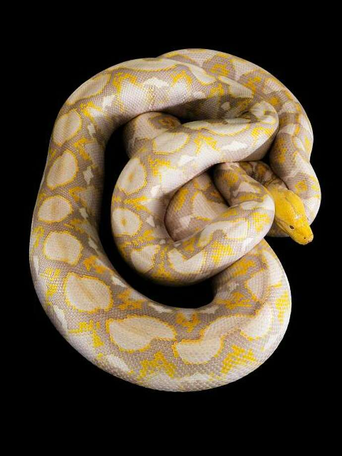 Lemondrop, an albino python at the California Academy of Sciences in San Francisco. Photo: Academy Of Sciences