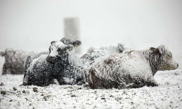 Frozen beef: Sometimes it sucks to be a cow. (Farm in Medina, N.Y.) Photo: David Duprey, Associated Press