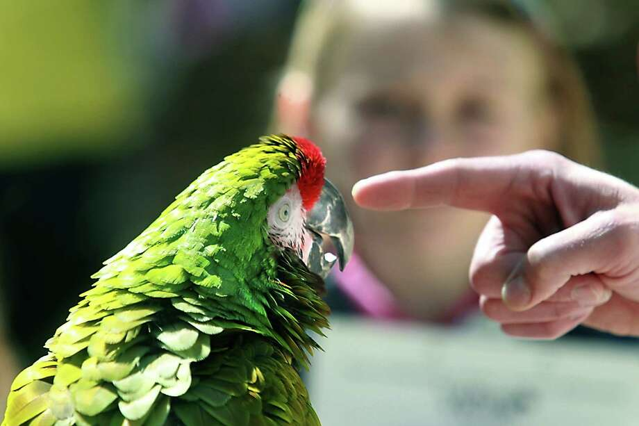 Cowboy, a class military macaw, entertains students participating in a spring break zoo camp held at the Texas Zoo in Victoria, Texas on Monday, March 11, 2013. Photo: Frank Tilley, Associated Press / Victoria Advocate