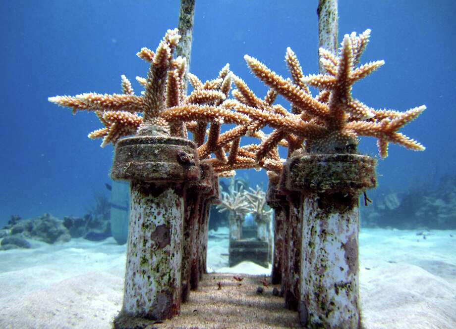 Coral grows in a reef nursery as part of a Caribbean coral reef restoration program off Cane Bay, St. Croix, U.S. Virgin Islands. Photo: The Nature Conservancy