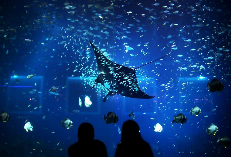 Giant manta rays, such as this one in an aquarium in Singapore, are protected for the first time. Photo: Wong Maye-E, Associated Press