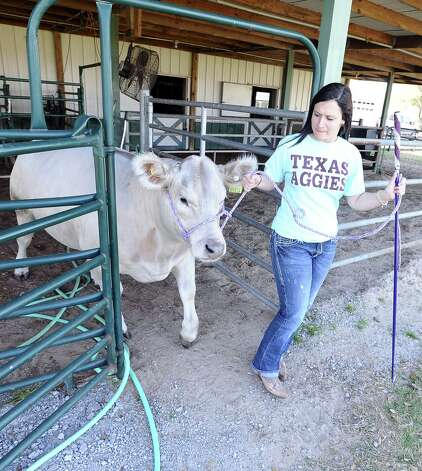 Bullet is a nearly two year old Charolais steer that will be shown at the Houston Livestock Show on Thursday, March 14, 2013.  Seventeen year old Hardin Jefferson High School senior, Allie Roby, has been working with Bullet for almost a year and will be the one showing him. Photo taken: Randy Edwards/The Enterprise Photo: Randy Edwards