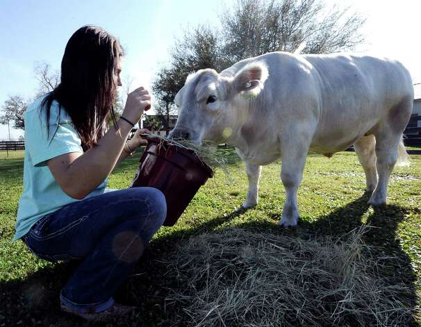 Seventeen year old Hardin Jefferson High School senior, Allie Roby, feeds her nearly two year old Charolais steer, Bullet, that will be shown at the Houston Livestock Show on Thursday, March 14, 2013.   Photo taken: Randy Edwards/The Enterprise Photo: Randy Edwards