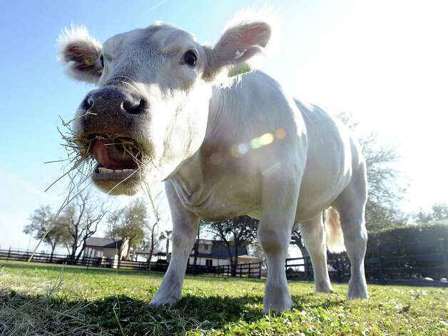 Bullet is a nearly two year old Charolais steer that will be shown at the Houston Livestock Show on Thursday, March 14, 2013.  Hardin Jefferson High School senior, Allie Roby, has been working with Bullet for almost a year and will be the one showing him. Photo taken: Randy Edwards/The Enterprise Photo: Randy Edwards