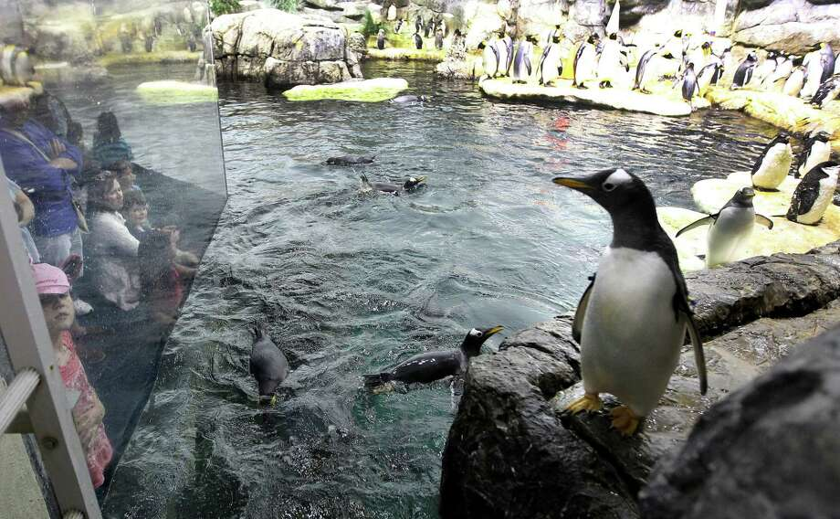 Spring break visitors watch penguins swim from behind the glass at Moody Gardens Aquarium Pyramid Thursday, March 14, 2013, in Galveston. The Galveston Park Board of Trustees has approved $58 million in renovations to update some of the complex's most visited areas. Photo: Karen Warren, Houston Chronicle / © 2013 Houston Chronicle