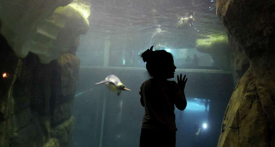 Scarlett Garcia, 3 1/2, watches the penguins at play under water at Moody Gardens Aquarium Pyramid Thursday, March 14, 2013, in Galveston. Photo: Karen Warren, Houston Chronicle / © 2013 Houston Chronicle