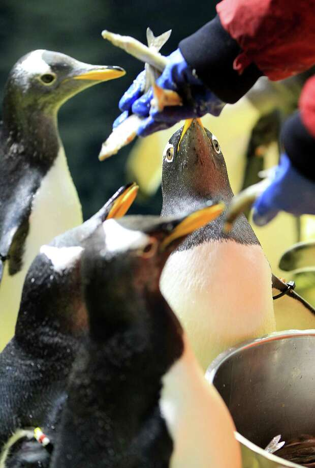 Penguins get fed at Moody Gardens Aquarium Pyramid. Photo: Karen Warren, Houston Chronicle / © 2013 Houston Chronicle