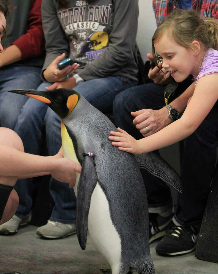 "Abigail Ward, 6, of Austin pets ""Watson,"" a King penguin, during a behind the scenes public penguin encounter at Moody Gardens Aquarium Pyramid. Photo: Karen Warren, Houston Chronicle / © 2013 Houston Chronicle"