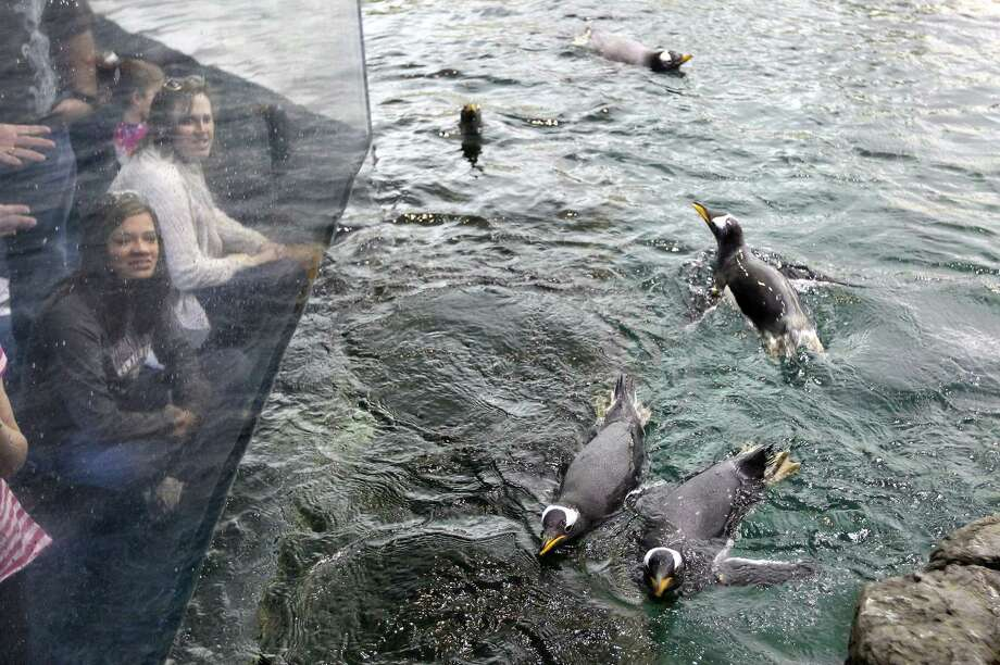 Spring break visitors watch penguins swim from behind the glass at Moody Gardens Aquarium Pyramid. Photo: Karen Warren, Houston Chronicle / © 2013 Houston Chronicle