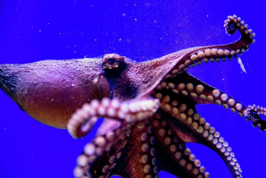 A female Larger Pacific Striped Octopus swims in her tank at the California Academy of Sciences on March 6, 2013 in San Francisco. Photo: Beck Diefenbach, Special To The Chronicle / ONLINE_YES