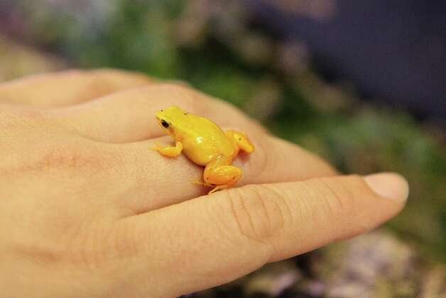 Biologist Nicole Chaney holds a Golden Mantella frog at the California Academy of Sciences in San Francisco, Calf. on Friday, February 29, 2008. The academy was breeding a colony of the tiny Golden Mantellas, which originate from Madagascar. Photo: Laura Morton, Special To The Chronicle / Special to The Chronicle