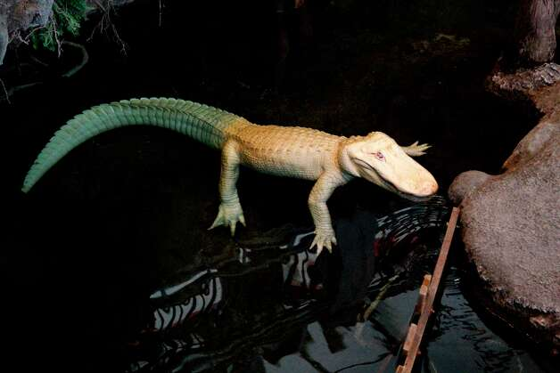 Claude, the albino alligator, swims in his swamp at the California Academy of Sciences in San Francisco on Sept. 12, 2010. Photo: Michelle Gachet, The Chronicle / SFC