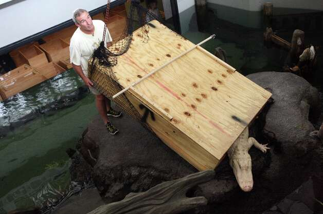 Rick Cleveland coaxes Claude, the albino alligator, out of a transport box into his new home in the swamp exhibit at the California Academy of Sciences in San Francisco on August 19, 2008. Photo: Laura Morton, Special To The Chronicle / SFC