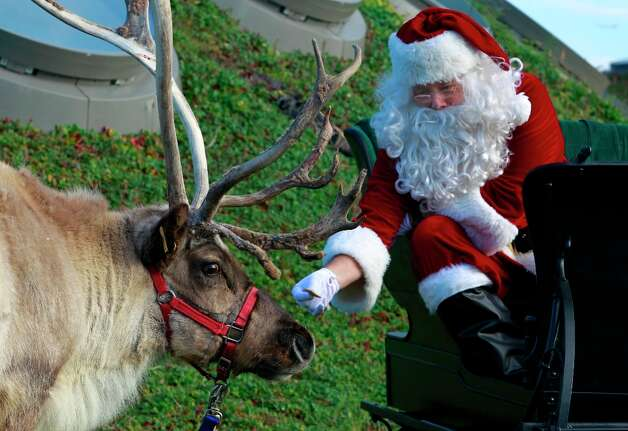 Santa Claus, aka Dave Kavanaugh, offers a tidbit to one of his reindeer after arriving on the living roof of the California Academy of Sciences in San Francisco on Nov. 15, 2012. Photo: Paul Chinn, The Chronicle / ONLINE_YES