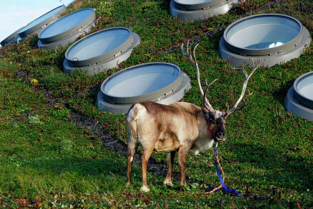 A male reindeer waits for Santa's arrival while grazing on the living roof at the California Academy of Sciences in San Francisco on Thursday, Nov. 15, 2012. The reindeer resided in the Academy's East Garden during the 'Tis the Season for Science exhibit. Photo: Paul Chinn, The Chronicle / ONLINE_YES