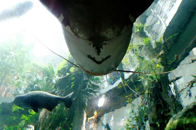 A giant redtail catfish patrols the aquarium at the California Academy of Sciences on Thursday, November 15, 2012 in San Francisco. Photo: Beck Diefenbach, Special To The Chronicle / ONLINE_YES