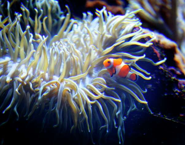 A clown fish and sea anemone were ready to make the move across town as the California Academy of Sciences embarked on the most massive move ever undertaken by a museum. The academy transported millions of priceless treasures from their temporary home on Howard Street to their new home in Golden Gate Park in early 2008. Photo: Michael Maloney, SFC / The San Francisco Chronicle