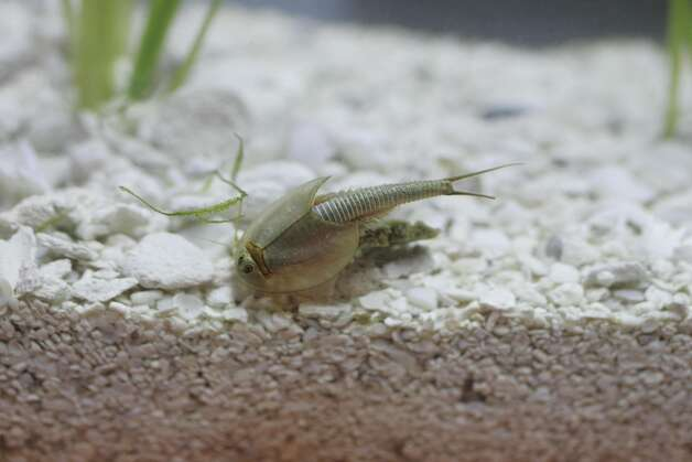 A tadpole shrimp in a display in 2005 at the California Academy of Sciences, part of an exhibit on California's diverse but highly threatened animal and plant life. Photo: Lea Suzuki, SFC / The Chronicle
