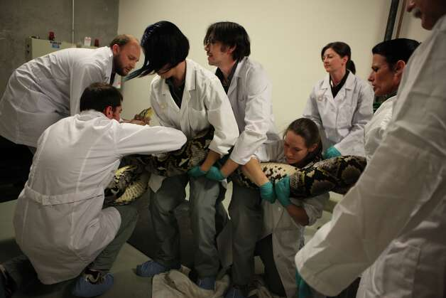 An 18-foot reticulated python is prepared for a physical at the California Academy of Sciences in San Francisco, Calif., on Thursday,  April 21, 2011.  The python will be part of the new snake exhibit opening next month. Photo: Liz Hafalia, The Chronicle / SFC