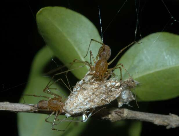 Two 'spitting spiders' cooperatively feeding on a moth bigger than they are in 2006. Photo: SFC / HO