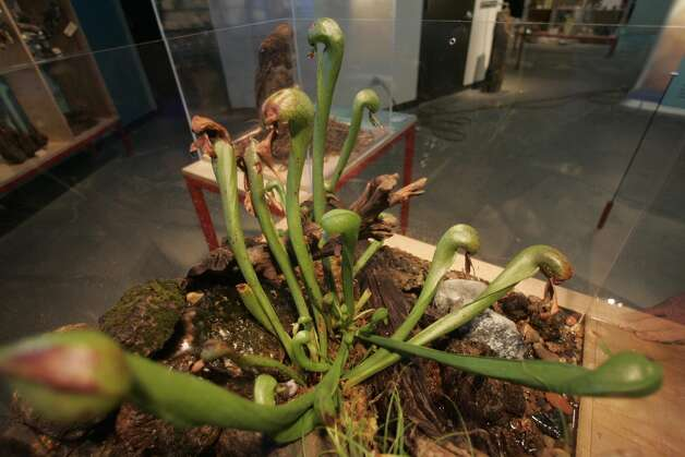 Live carnivorous plants called cobra lilies, which live in nutrient-poor soils, were on display at the California Academy of Sciences in 2005. Photo: Lea Suzuki, SFC / The Chronicle