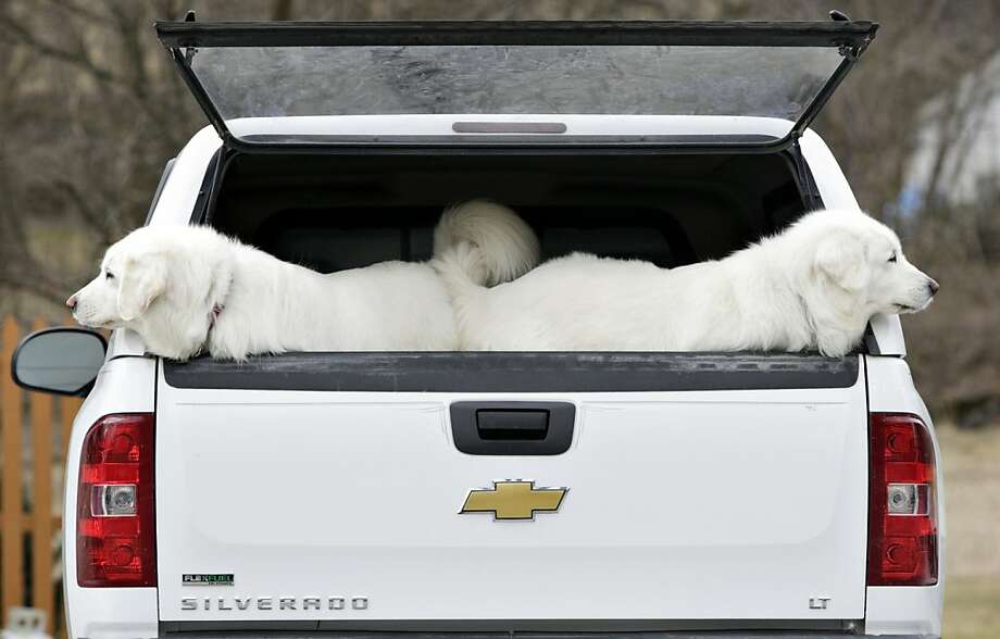 Backseat bookends: Before Stanley Labanowski backs out of the driveway and into the road, his Polish Tatra sheepdogs Laura and Sasha look both ways. (Pine Island, N.Y.) Photo: Tom Bushey, Associated Press