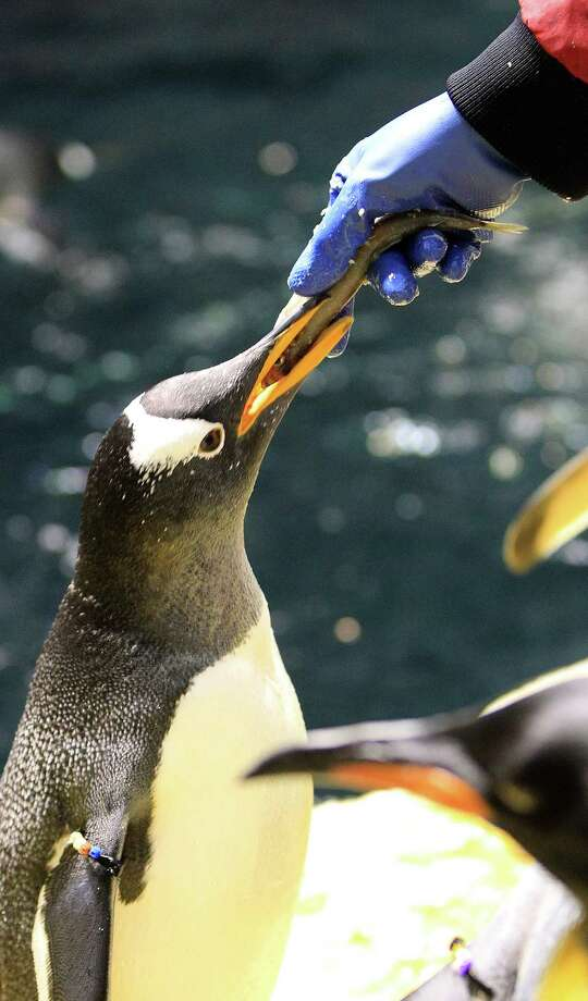 Penguins get fed at Moody Gardens' Aquarium Pyramid. Photo: Karen Warren, Houston Chronicle / © 2013 Houston Chronicle