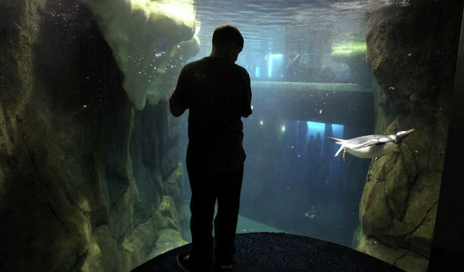 Colby Hooks, 11, of Houston, watches the penguins at play under water at Moody Gardens Aquarium Pyramid. Photo: Karen Warren, Houston Chronicle / © 2013 Houston Chronicle