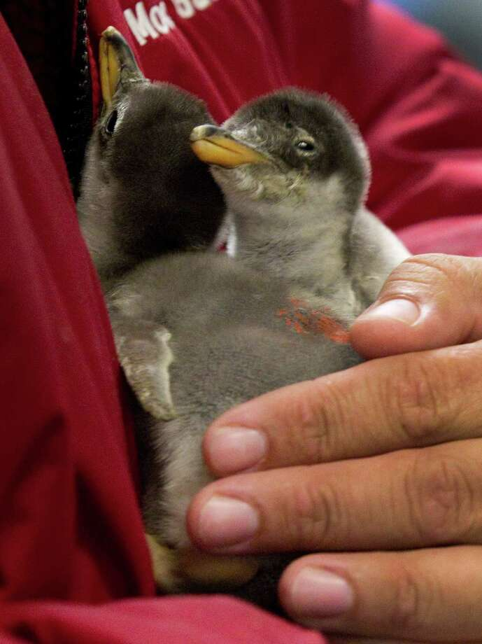 Biologist Hector Moral holds two newly-hatched Gentoo penguin chicks at Moody Gardens in November. Photo: Brett Coomer, Houston Chronicle / © 2012 Houston Chronicle