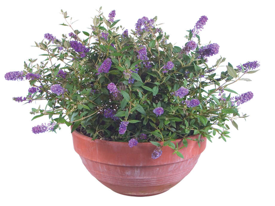 'Blue Chip' buddleia, a dwarf butterfly bush for beds and containers, will be available at March Mart. Photo: Todd Michael Johnson / handout