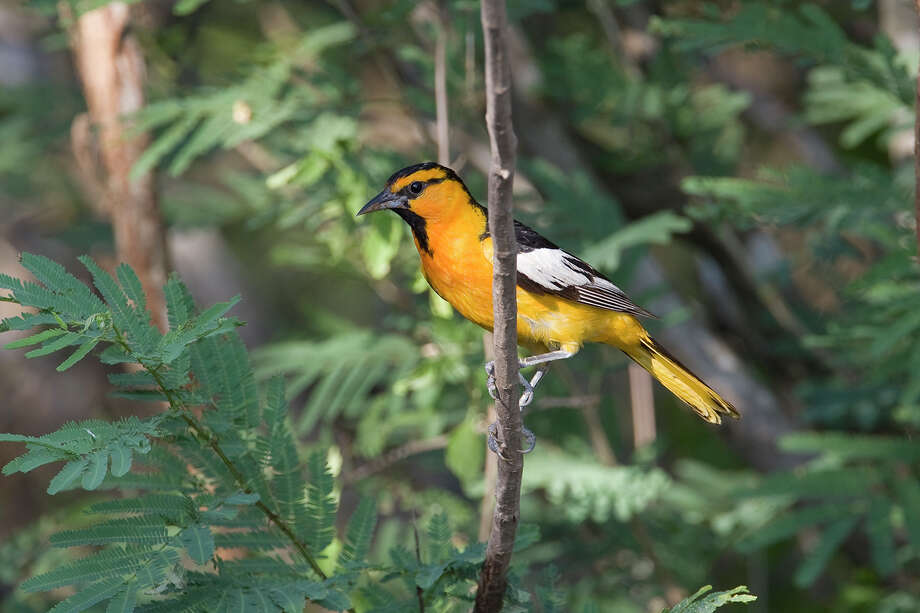 Brightly colored orioles will be dropping into our yards and neighborhoods this spring. This Bullock's oriole can be found in Texas from the Rio Grande Valley into the Edwards Plateau and Panhandle. Photo: Kathy Adams Clark / Kathy Adams Clark/KAC Productions