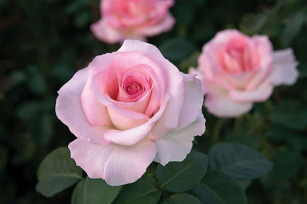 Hybrid tea roses require special attention, including weekly watering in the growing season and weekly spraying. Photo: Syl Arena / For The Express-News