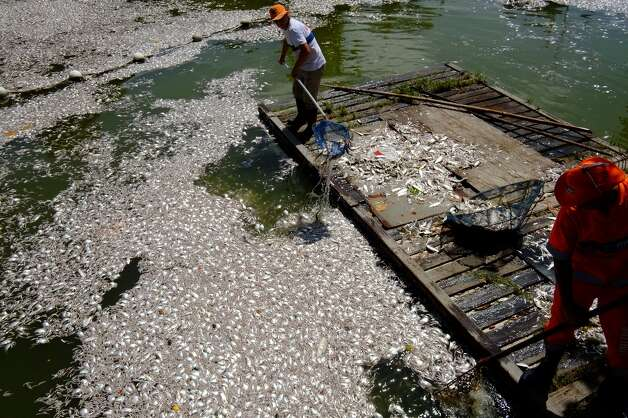 Municipal workers collect tons of dead fish floating on the waters of the Rodrigo de Freitas lagoon, beside the Corcovado mountain in Rio de Janeiro, Brazil on March 13, 2013. Photo: CHRISTOPHE SIMON, AFP/Getty Images / AFP
