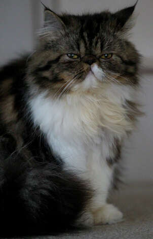 This is Macie Grace the 9-month-old Persian cat owned by Linda Alwine. Macie Grace is the 2013 winner of the Express-News Cat Walk contest. Photo: JOHN DAVENPORT, SAN ANTONIO EXPRESS-NEWS / ©San Antonio Express-News