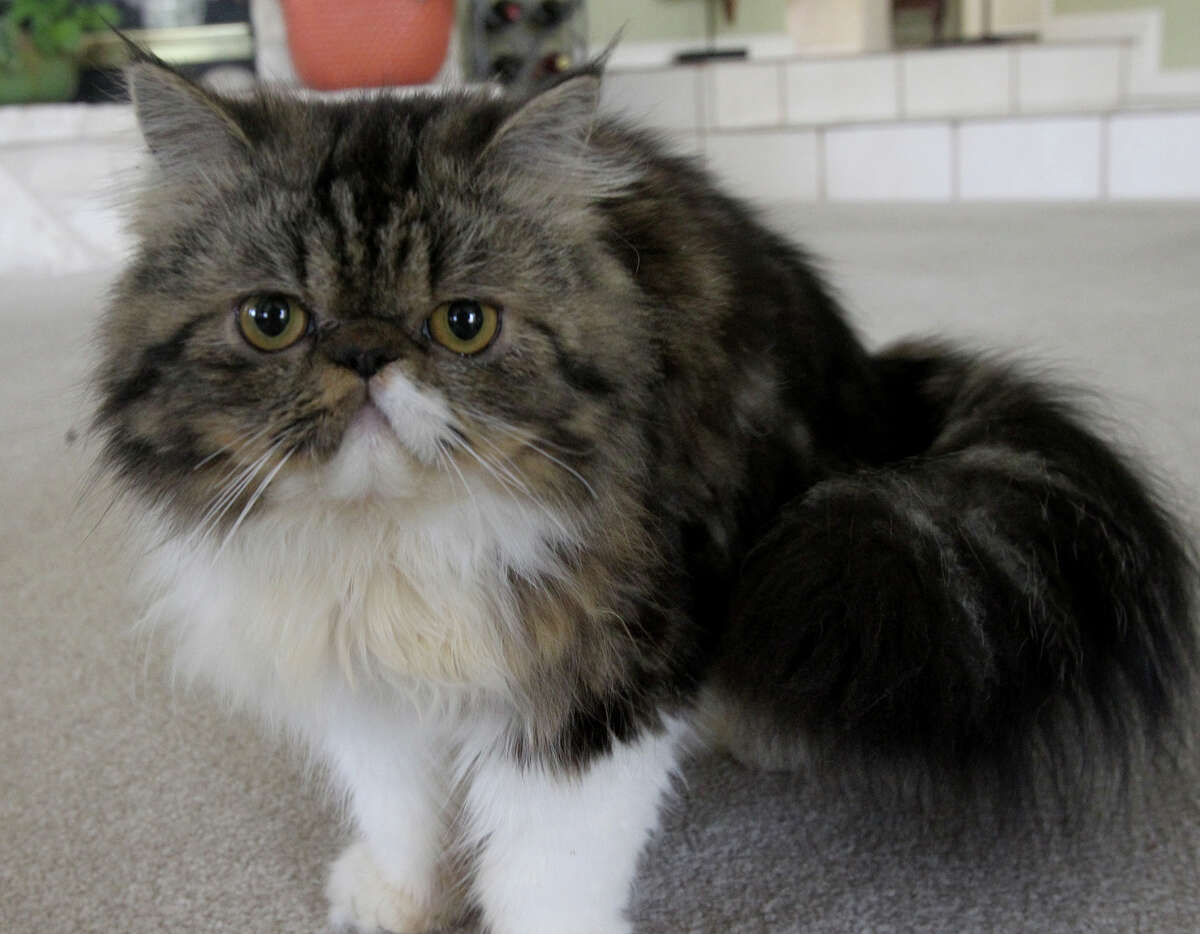 And the winner of the San Antonio Express-News Cat Walk Contest is ... Macie Grace, a 9-month-old Persian.Readers submitted 128 kitty entries, which were whittled to 20 finalists. A panel of five judges selected Macie from the finalists, which included rescue cats and purebreds.