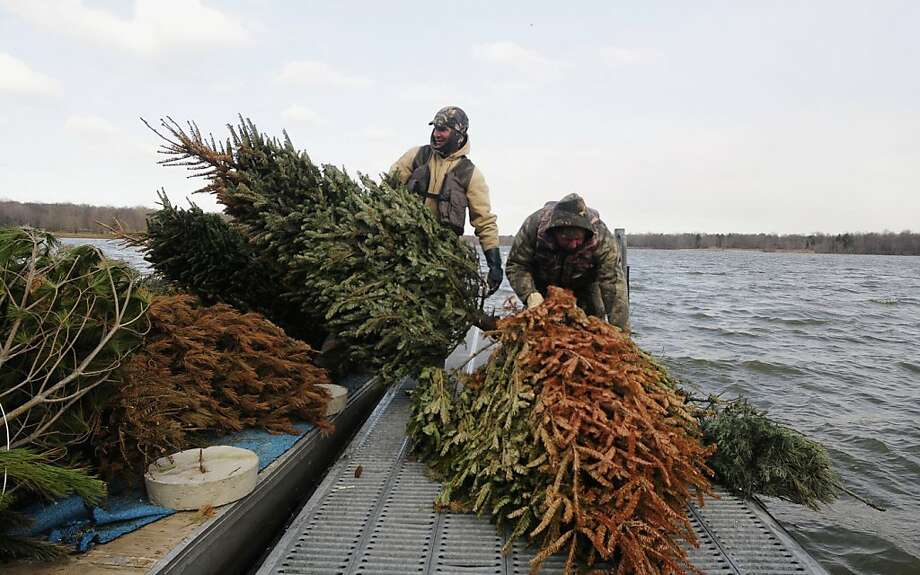 It's still green! Maybe I should save it for next Christmas: Illinois Department of Natural Resources workers load discarded Christmas trees onto a boat on Rend Lake near Benton. More than 300 trees were being dumped into the lake to provide cover and feeding grounds for fish. Photo: Paul Newton, Associated Press
