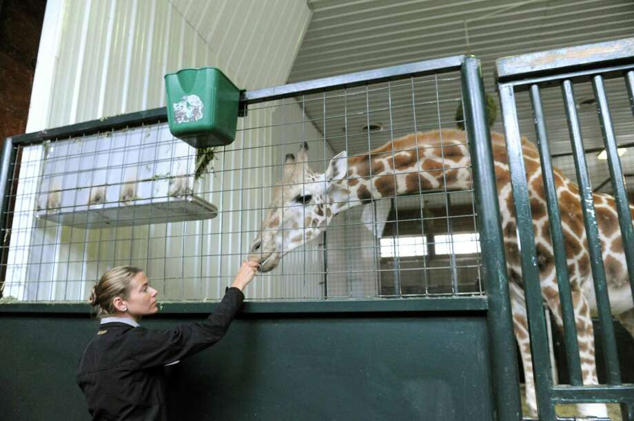 Lauren Hinson, a zookeeper at the LEO Zoological Conservation Center in Greenwich, gives Petal, a Rothschild giraffe, a carrot at the center Tuesday, March 12, 2013. Petal, an endangered animal and one of fewer than 700 such giraffes in the world, is pregnant and could give birth at any time from mid-March to mid-April. Photo: Helen Neafsey / Greenwich Time