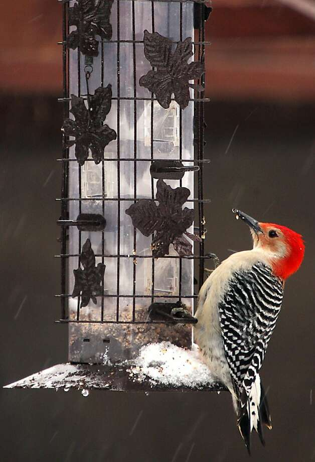 "A Red-bellied Woodpecker perches on a bird feeder in Elma, N.Y., on Friday, March 15, 2013.  Commonly called a ""red headed"" woodpecker they are often seen in the deciduous forests around Western New York pecking away on dead tree bark in search of insects.  (AP Photo/The Buffalo News, Robert Kirkham) Photo: Robert Kirkham, Associated Press"