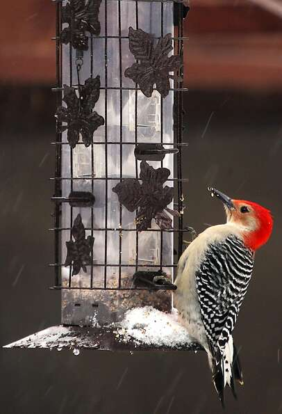 A Red-bellied Woodpecker perches on a bird feeder in Elma, N.Y., on Friday, March 15, 2013.  Commonl